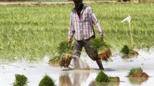 la-thailande-perd-sa-place-de-premier-exportateur-de-riz
