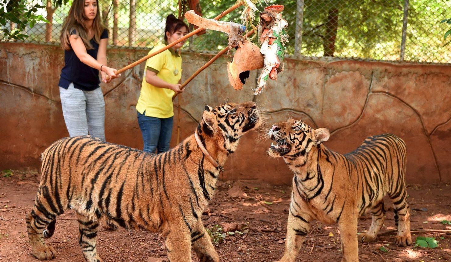 rencontre avec les tigres thailande rencontre homme ille et vilaine
